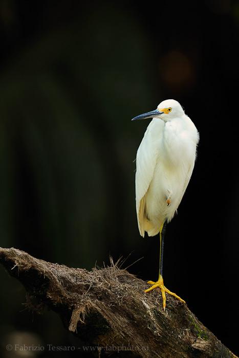 Birds of Costa Rica, tortuguero, photo