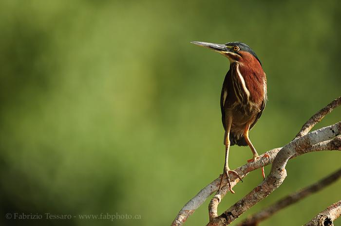 Birds of Costa Rica,Tortuguero, photo
