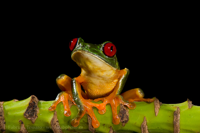 red eyed tree frog, costa rica, photo