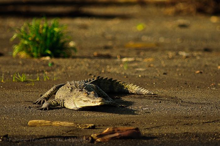 american alligator, tarcoles river, costa rica,, photo