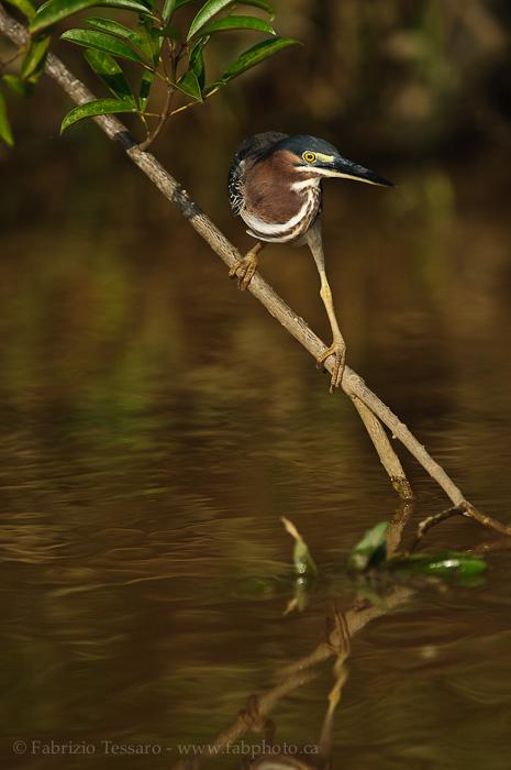 Birds of Costa Rica, photo