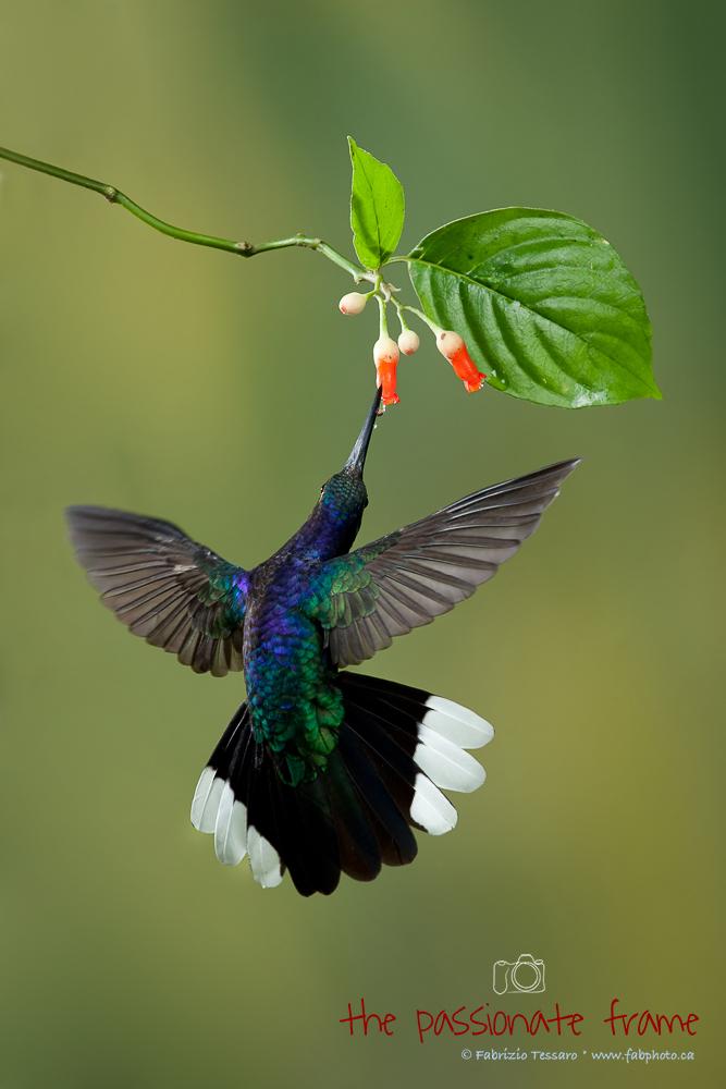 hummingbird multi flash photo set up,violet saberwing costa rica, photo