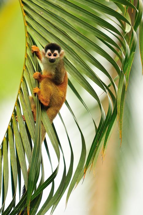 squirrel monkey,costa rica, photo
