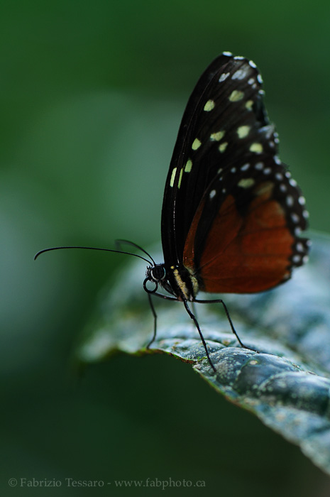 Danaus Eco Centre, Costa Rica, passion flower butterfly, photo
