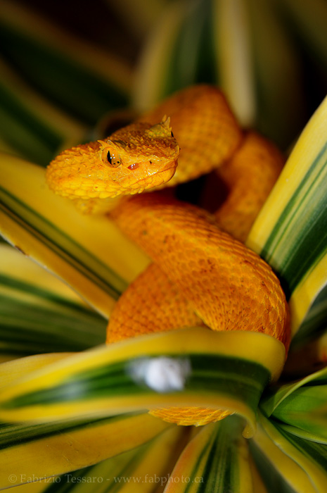 snake, golden eyelash viper, pit viper, photo