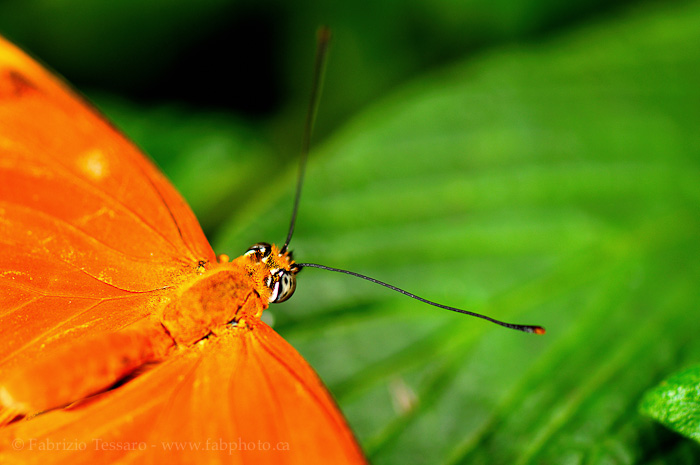 butterfly,costa rica, danaus eco centre,, photo