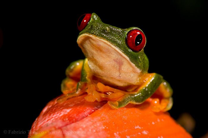 red eyed tree frog, costa rica , photo
