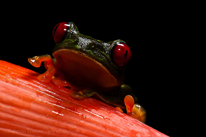 red eyed tree frog,costa rica,, photo