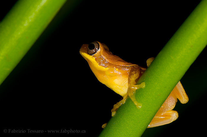 hourglass tree frog, costa rica, photo
