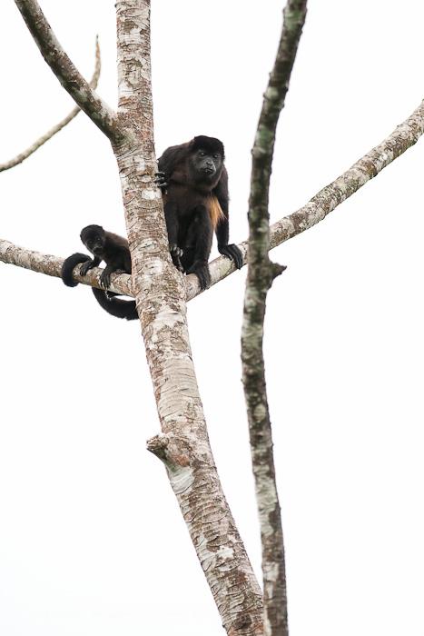 howler monkey,, photo