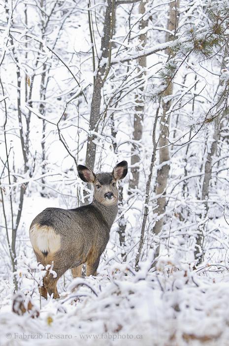 mule deer, jasper national park, photo