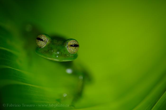 emerald glass frog, costa rica, photo