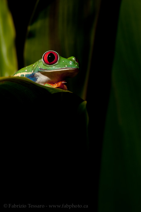 ROGER the RED-EYED TREE FROG, photo
