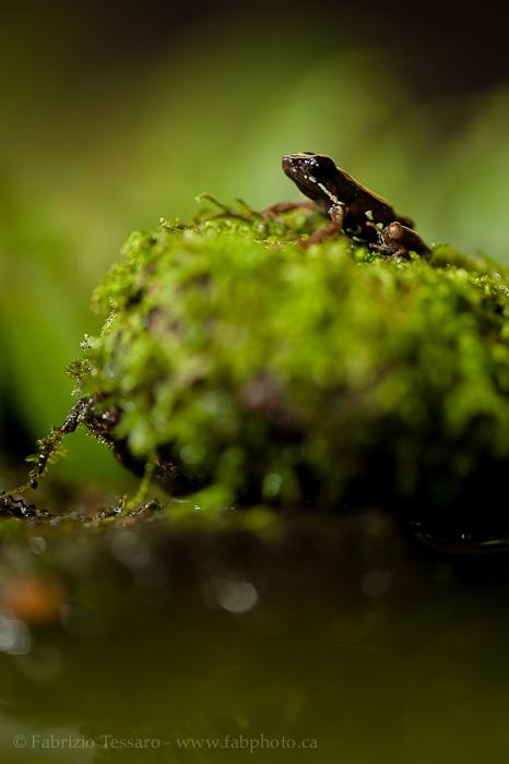 rocket frog, costa rica, photo