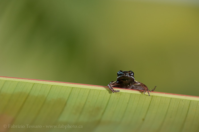 rocket frog, costa rica, photo