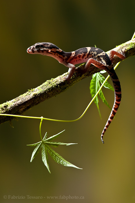 central american banded gecko, costa raica, photo