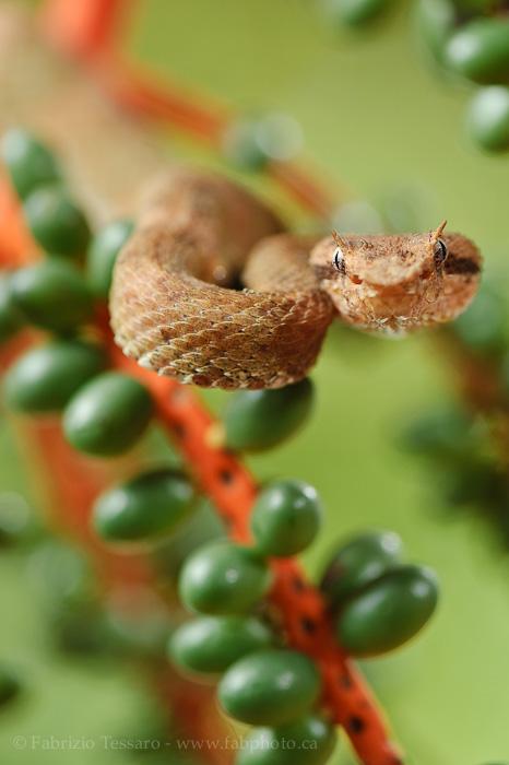 eyelash viper, snake, venomous, costa rica, photo