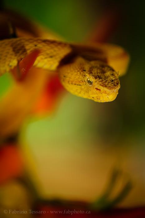 golden eyelash viper, snake, costa rica, venomous, photo