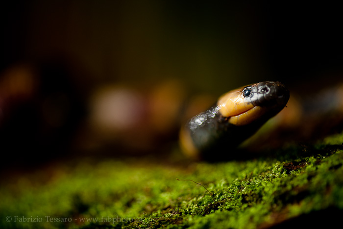 central american coral snake, costa rica, photo