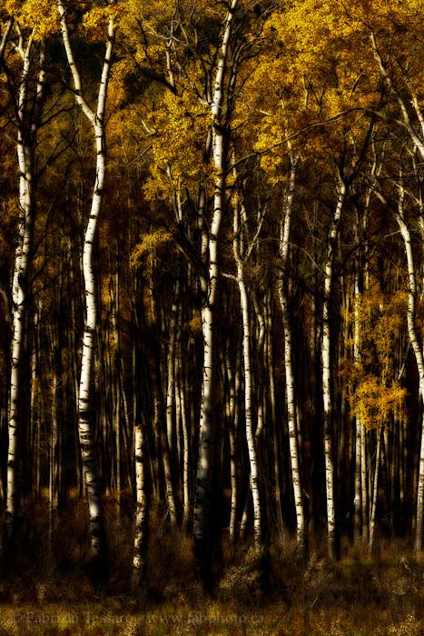 Aspens in Fall, Jasper National Park, photo