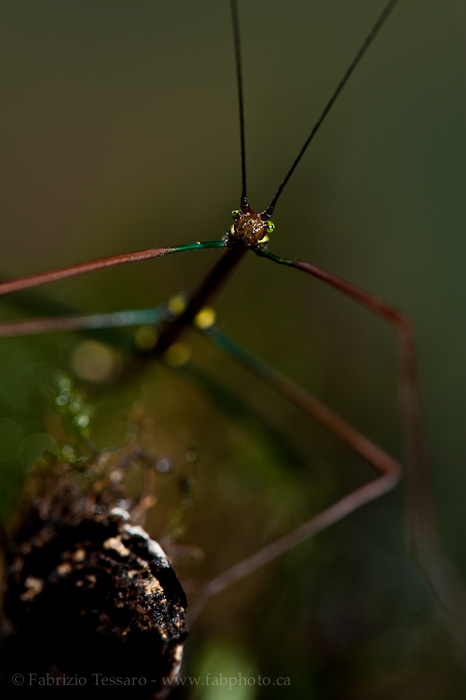 walking stick, tenorio volcano, costa rica, photo