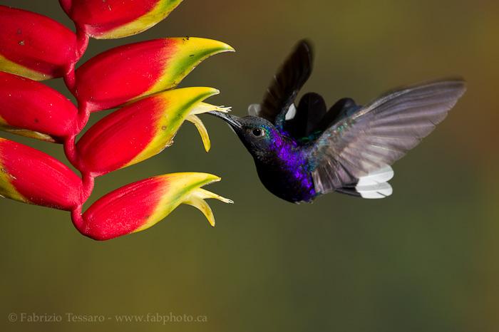 Bajos del toro, bosque de paz, Costa Rica,violet sabrewing, photo