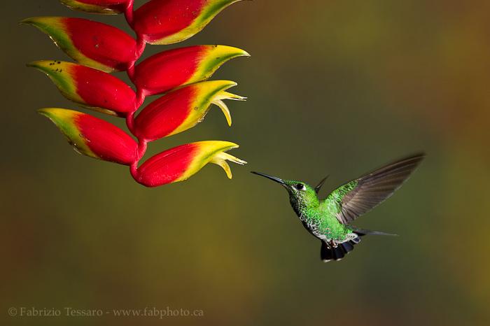 Bajos del toro, bosque de paz, Costa Rica,green crowned brilliant, photo