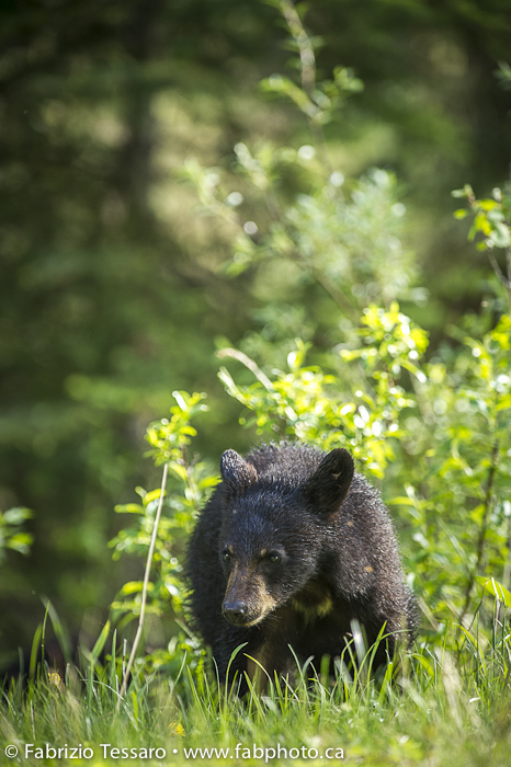 Black Bear Cub in Jasper National Park, Alberta, Canada., photo