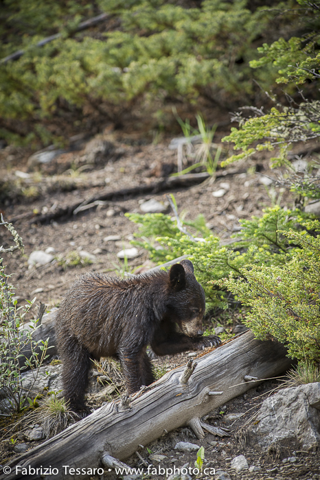 Black bear cub in Jasper National Park, Alberta, Canada., photo