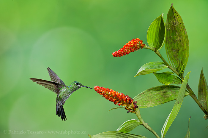 Green crowned brilliant hummingbird, photo