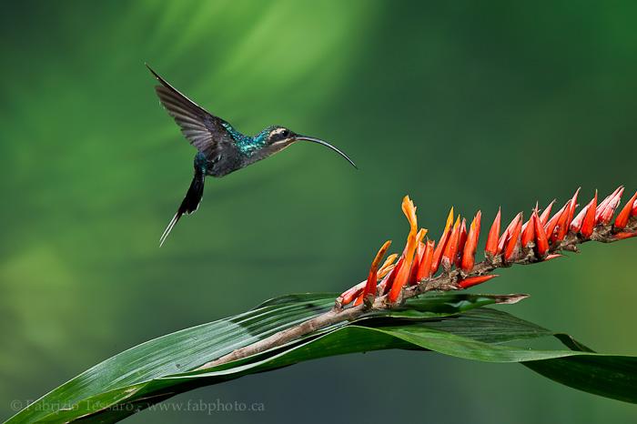 Bajos del Toro, Costa Rica, green crowned brilliant,, photo