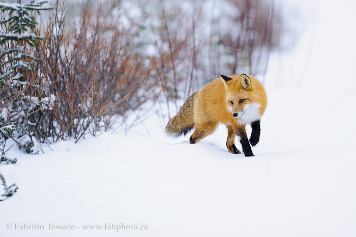 Jasper National Park, Alberta Canada, red fox,, photo