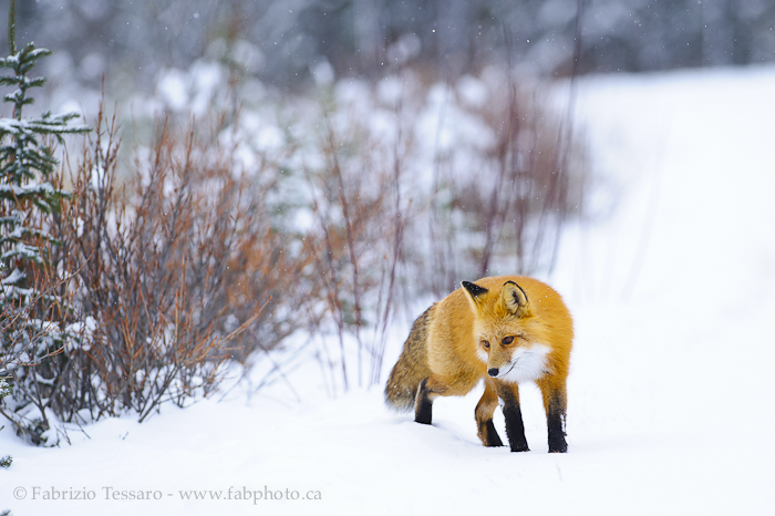 Jasper National Park, Alberta Canada, red fox, , photo