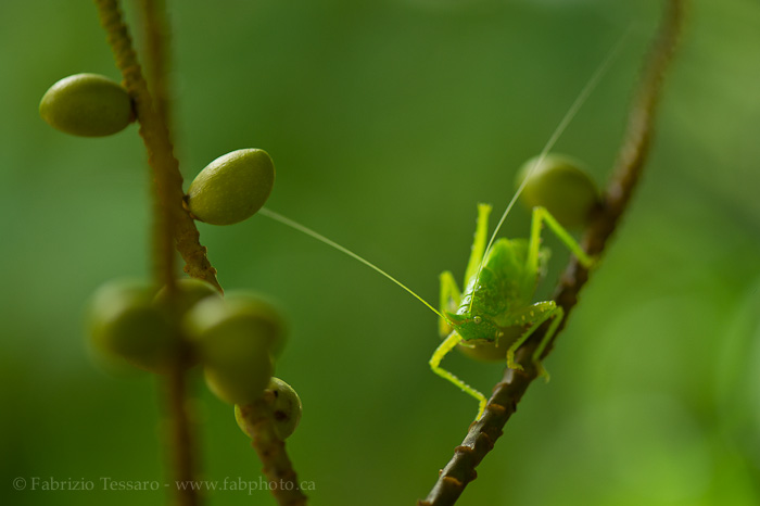katydid, sarapiqui, costa rica,, photo