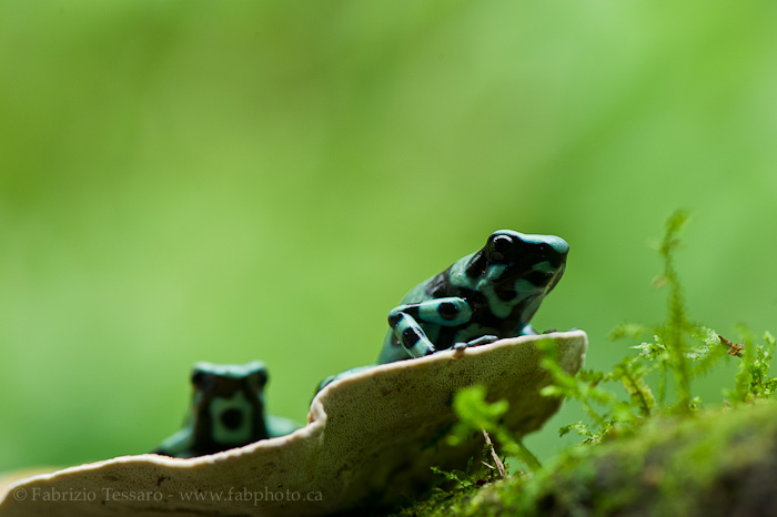 black and green poison dart frog, costa rica, sarapiqui, photo