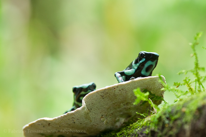 black and green poison dart frogs, costa rica, sarapiqui, photo