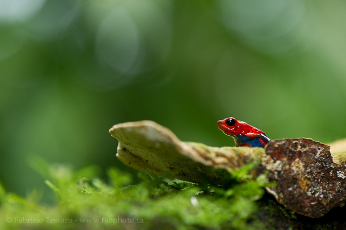 Sarapiqui, Costa Rica, strawberry poison frog, , photo