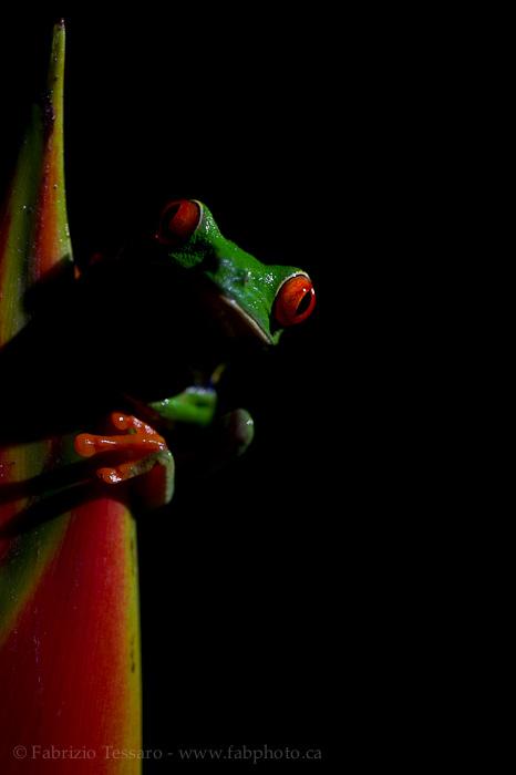 Sarapiqui, Costa Rica, red-eyed tree frog,, photo