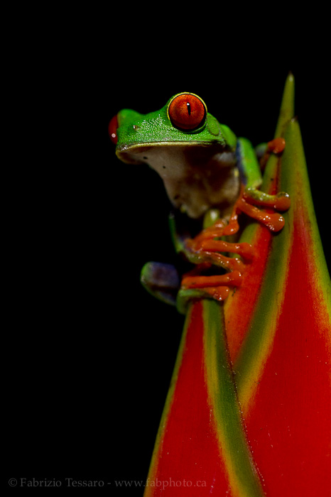Sarapiqui, Costa Rica, red eyed tree frog,, photo
