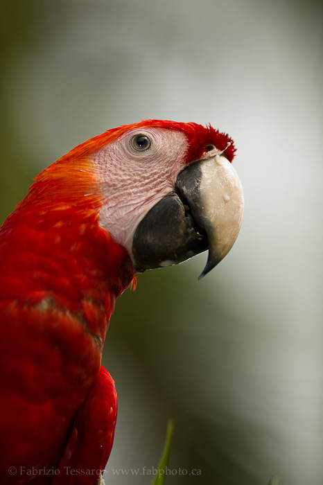 Costa Rica,scarlet macaw, photo