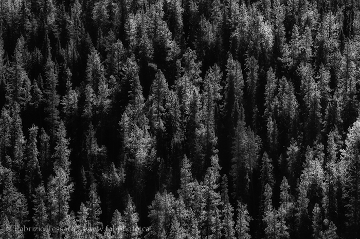 Jasper National Park, Alberta, Canada, trees, photo