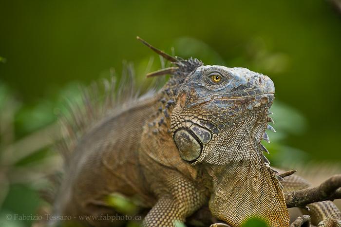 Costa Rica, green iguana,, photo