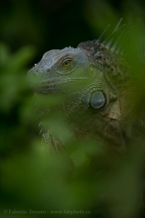 Costa Rica, green iguana, photo