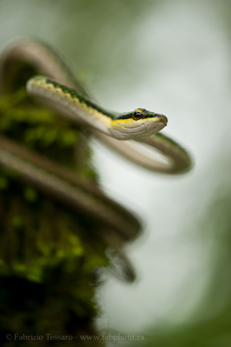 Costa Rica,parrot snake, photo