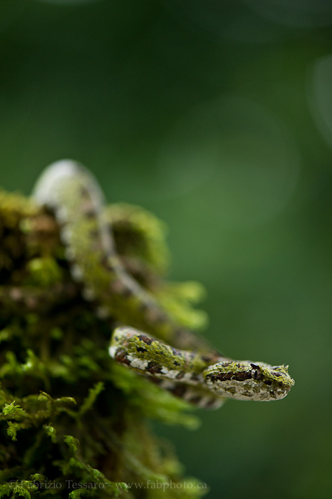 Costa Rica, eyelash viper,, photo