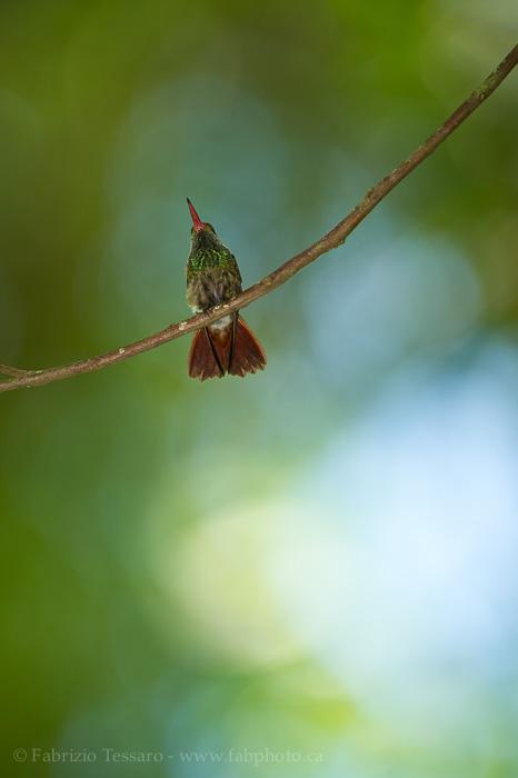 Bajos del Toro, Costa Rica,rufous tailed, photo