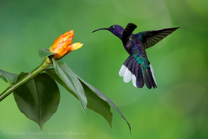 Bajos del Toro, Costa Rica, violet sabrewing, photo